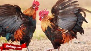 Pengetahua Cara Ternak Ayam Tarung