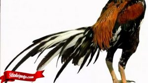 Pengetahuan Penting Tentang Ekor Ayam Tarung