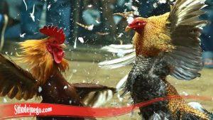 Proses Cepat Tingkatkan Mental Ayam Jago S128