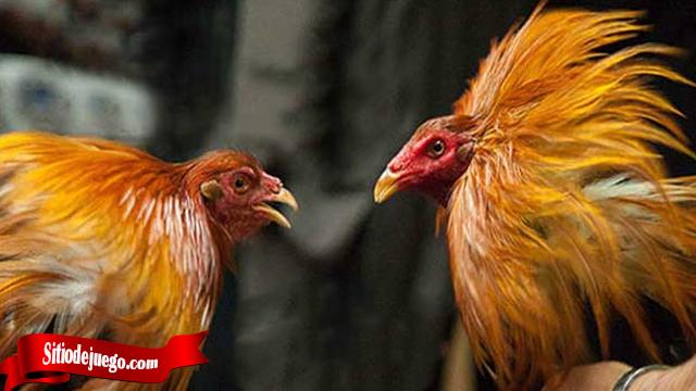 Bongkar Identik Keturunan Ayam Bangkok