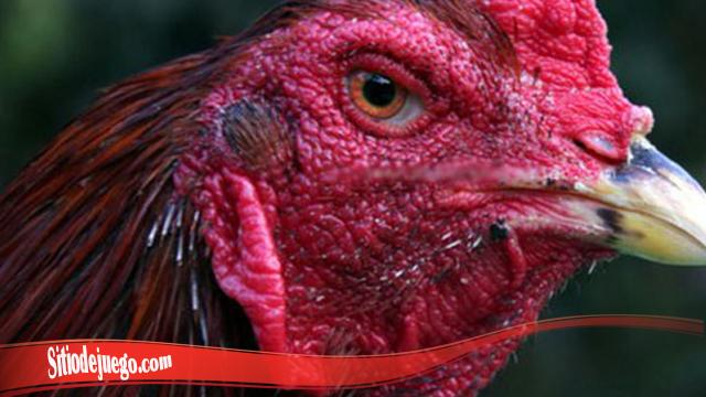 Penting Cara Cepat Pulihkan Luka Pada Mata Ayam S128