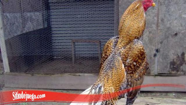 Pentingnya Bulu Tebal Dan Kilat Pada Ayam Jago SV388